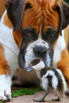 Doggy and Ducky... family resemblance ....? similar colors!! No, just unusual friends. Ya gotta love it.  I do. How adorable.