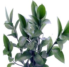 Ruscus. Greenery filler for centerpieces and bouquets.