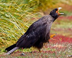 Striated Caracara, (Phalcoboenus australis) is a bird of prey of the Falconidae family. In the Falkland Islands it is known as the Johnny Rook.