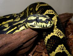 Jungle Carpet Python from Australia had 1 I called Charlie