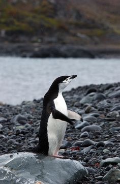 Chinstrap Penguin at King George Island #OceanwideExpeditions