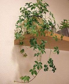 5枚の葉が花のように広がる人気の観葉植物です。かわいいのに丈夫で育てやすく、つる性なので形も整えやすく、インテリア性が高いところも魅力的。 基本的には写真のように下に垂れ下がりながら成長していくので、少し高い場所や、垂れ …