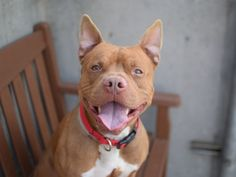 3 Months and still waiting!! Brooklyn Center   My name is DINGLEDWARF. My Animal ID # is A1071099. I am a Neutered male tan and white am pit bull ter mix. The shelter thinks I am about 1 YEAR 7 MONTHS old.  I came in the shelter as a STRAY on 04/22/2016 from NY 11236, owner surrender reason stated was STRAY. Due Out 04/25/16
