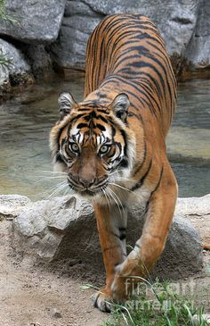 Gorgeous ! I LOVE Tigers