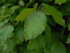 Beukenhaag - houdt zijn (dorre) blad in de winter, houdt niet van natte voeten