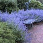 Easy Gardening with Drought Proof Nepeta Ground Cover