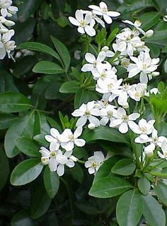 Loranger du Mexique : un arbuste décoratif - Green Flowers, White Flowers, Beautiful Flowers, Gardenias, Jasmine Plant, Home Vegetable Garden, Flowering Shrubs, Garden Borders, White Gardens