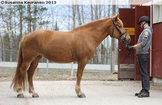 Finnhorse - mare Aronia