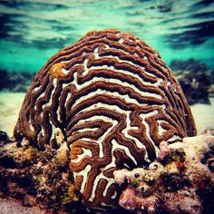 Platygyra Sp aka Brain Coral. November is a very busy time of the year for us at #HeronIslandResearchStation. Full moon last night signals that the corals will be spawning sometime this week. It also means some of our researchs wont be getting much sleep as they will be monitoring there corals until they spawn. #corals #reef #spawning #spawningseason #uniofqld #saveourseas #GreatBarrierReef by heron_island_research_station http://ift.tt/1UokkV2