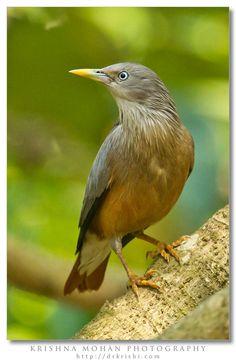 Afbeeldingsresultaat voor chestnut tailed starling