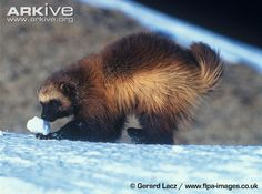 Wolverine (Gulo gulo) - playing with snow