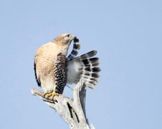 Red Shouldered Hawk Grooming-Fine art photography wild life bird photography poster birds of Florida Blue Wall decor - Morris Alkalay