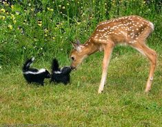 Baby Skunks And Deer ( fawn )!
