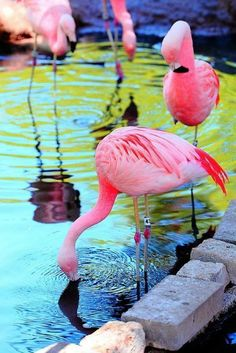 flamingos The colours remind me of beautiful flowers. Flamingos make great leggy models too, don't they? Pretty Birds, Beautiful Birds, Animals Beautiful, Pretty In Pink, Flamingo Art, Pink Flamingos, Flamingo Photo, Baby Animals, Cute Animals
