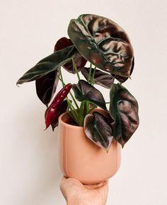Unique Plants, Rare Plants, Exotic Plants, Green Plants, Tropical Plants, House Plants Decor, Plant Decor, Alocasia Plant, Ferns Garden