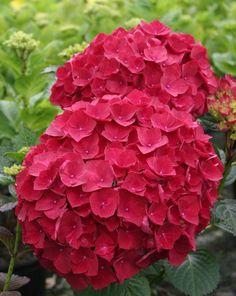 Red hydrangeas:  all year  $$