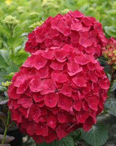 "H. macrophylla Magical Ruby Red - ""The reddest hydrangea to date"