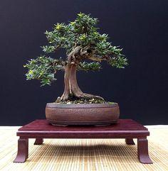 "John Pitt  Shohin English Yew (Taxus baccata)  8"" tall  Pot: John Pitt (UK)  in training since 2000"