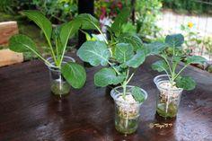 Seri Hidroponik Sayuran: Fase Menanam