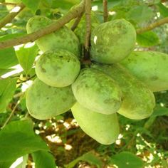 The Pawpaw: A Southern Delicacy - Of Mice and Mountain Men Blog - GRIT Magazine