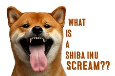 Did you know that Shiba Inus have a unique type of scream? Learn more here: http://myfirstshiba.com/what-is-a-shiba-inu-scream/