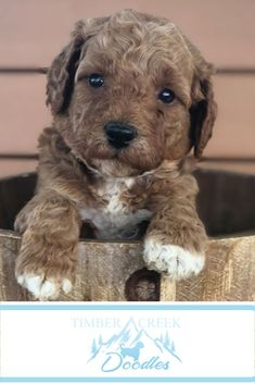 We're dedicated to raising the best Mini Goldendoodle and Mini Bernedoodle puppies for your family. We start with our wonderful parent dogs and spend countless hours socializing the puppies - and we offer a guarantee! Bernedoodle Puppy, Goldendoodle Puppy For Sale, Puppies For Sale, Cute Puppies, Dog Lover Gifts, My Animal, Cute Animals, Funny Animals, Raising