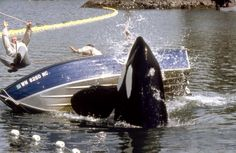 Free Willy The Adventure Home - Publicity still. The image measures 3595 * 2459 pixels and was added on 23 January Keiko Orca, Free Willy Movie, Soul Surfer, Killer Whales, Mammals, Wildlife, Adventure, Movies, Films