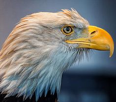 Animals Art - Eagle With An Attitude by Bill Tiepelman Baby Animals, Funny Animals, Cute Animals, Attitude, Art Pages, Animal Memes, Beautiful Birds, Art For Sale, Pet Birds