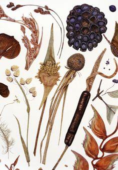 Rachel Pedder-Smith, Herbarium Specimen Painting