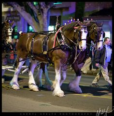 They make that tack look good! Budweiser Clydesdales
