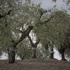 The farmers, the farms, the olives, and the oil.