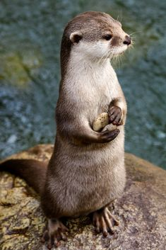 Pebbles Art Print by sjrphotography River Otter, Sea Otter, Lovely Creatures, Woodland Creatures, Like Animals, Animals Images, Significant Otter, Otters Cute, Otter Love