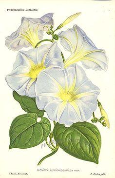 Antique print: picture of Morning Glory - Ipomoea Rubro coerulea