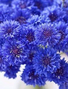 The Cornflower aka Centaurea cyanus.a striking, blue summer flower The Cornflower aka Centaurea cy Arrangements Ikebana, Flower Arrangements, Blue Garden, Dream Garden, Summer Flowers, Beautiful Flowers, Beautiful Gorgeous, Exotic Flowers, Purple Flowers
