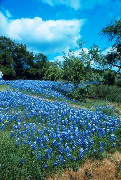 In Texas  If you want to see these bluebonnets, try to make it for their show in early Spring.