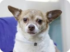 Staten Island, NY - Chihuahua/Parson Russell Terrier Mix. Meet CHA CHA, a dog for adoption. http://www.adoptapet.com/pet/13182617-staten-island-new-york-chihuahua-mix