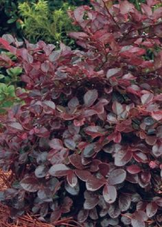 Southern Living Pink Purple Diamond Loropetalum Foundation/Hedge Shrub in Pot at Lowe's. The Purple Diamond Loropetalum from the Southern Living Plant Collection is quite a garden standout! Short, rounded leaves, are bright purple to dark Evergreen Shrubs, Trees And Shrubs, Hedges, Purple Shrubs, Dwarf Shrubs, Purple Pixie, Foundation Planting, Fertilizer For Plants, Purple Diamond
