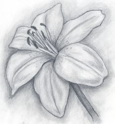 Browse Lily+pencil+drawing pictures, photos, images, GIFs, and videos on Photobucket Pencil Drawing Pictures, Pencil Drawings Of Flowers, Pencil Drawing Tutorials, Flower Sketches, Art Drawings Sketches Simple, Pencil Art Drawings, Pictures To Draw, Drawing Flowers, Realistic Flower Drawing