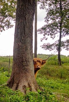 """hughhighlander: """"are all the hoomans gone?"""" -highland peek-a-coo via north woods ranch Cute Baby Cow, Baby Cows, Cute Cows, Scottish Highland Cow, Highland Cattle, Beautiful Creatures, Animals Beautiful, Long Haired Cows, Farm Animals"""