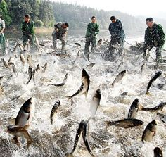 Easy fishing: Fishermen fishing the Xiannv Lake, Xinyu, Jiangxi province, China, don't need to look far to make a catch