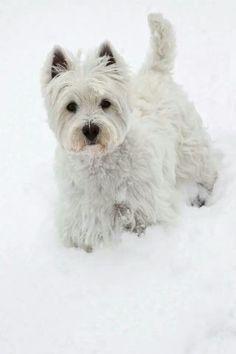 Westie in winter snow