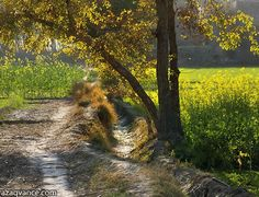 Talli deThallay - Under the tree near mustard fields - Pakistan Village Life