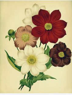 Single Dahlias. The garden. An illustrated weekly journal of horticulture in all its branches [ed. William Robinson], vol. 20- (1881)