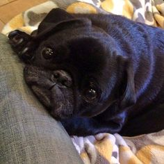 hamiltonpug:  These pug eyes will put you in a trance. Go get me treats!