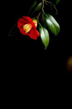 I love camellias! Dark Wallpaper, Flower Wallpaper, Virtual Flowers, Blur Photo Background, Beautiful Flowers Wallpapers, Japanese Flowers, Green Nature, Jolie Photo, Arte Floral