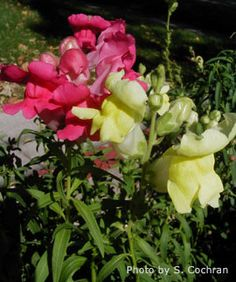 Snapdragons are an easy to grow annual flower