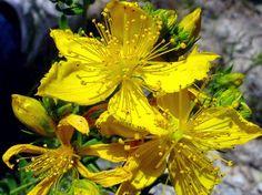Nombre científico: Hyperycum perforatum  Descripción botánica: Hierba perenne de la familia de las Gutiferas. Alcanza hasta 1 me...