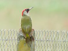 Green Woodpecker, Pic Vert, Birds, Album, Projects, Photos, Soothing Colors, Adorable Animals, Horse