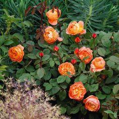 Lady Emma Hamilton - English Roses - Type