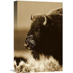 Global Gallery American Bison Portrait in Snow North America - Sepia Wall Art - GCS-453683-1218-142